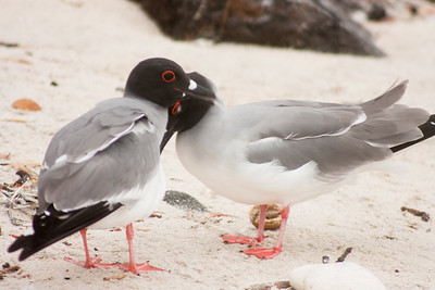Mates : Journey into Genovesa Island in the Galapagos Archipelago