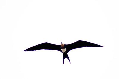 Soaring Bird : Journey into Genovesa Island in the Galapagos Archipelago