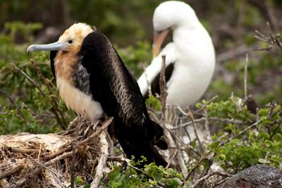 Adolescent  Frigate Bird : Journey into Genovesa Island in the Galapagos Archipelago
