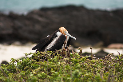 Frigate Bird from a Distance : Journey into Genovesa Island in the Galapagos Archipelago