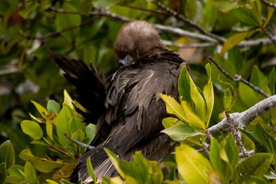 Adolescent Bird in Bush : Journey into Genovesa Island in the Galapagos Archipelago