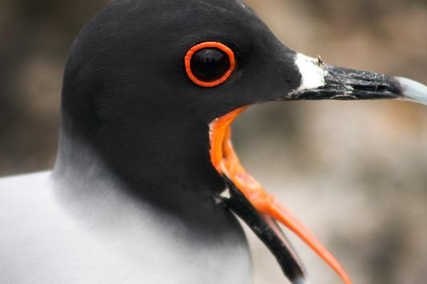 Yawning Bird : Journey into Genovesa Island in the Galapagos Archipelago