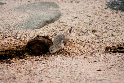 Bird looking for Food : Journey into Genovesa Island in the Galapagos Archipelago