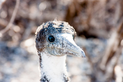 Adolescent Nazca Booby : Journey into Genovesa Island in the Galapagos Archipelago