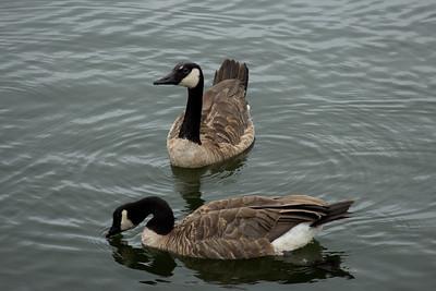 Drinking Goose in Milwaukee