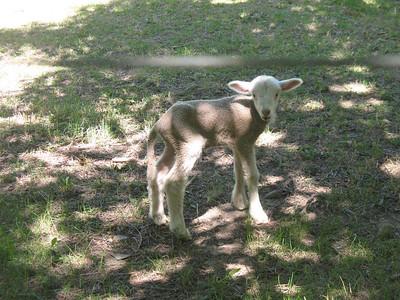 the little lamb from next door