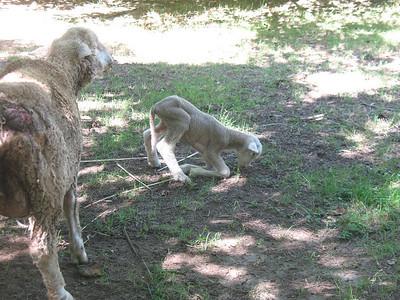 little lamb eating