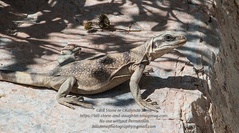 Chuckwalla (Sauromalus ater) - Darwin Falls-Death Valley