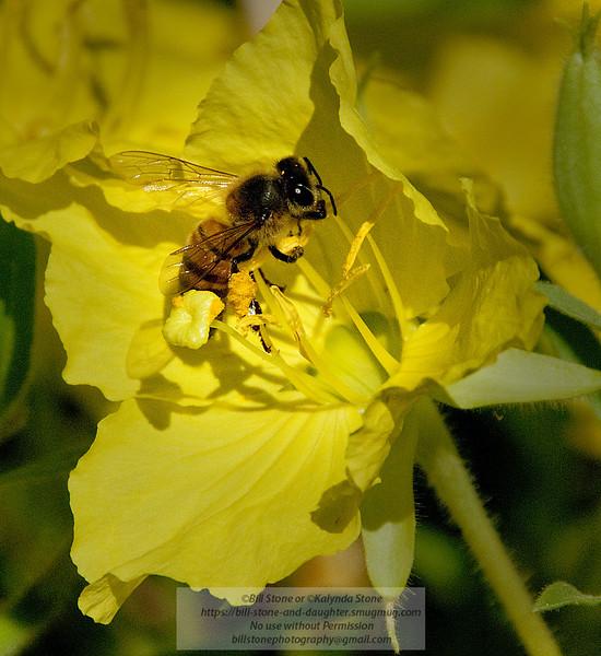 Bee on cactus flower-Arizona