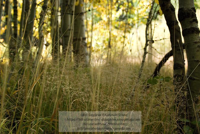 grass and aspens
