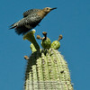 Gila Woodpecker-Melanerpes uropygialis-on Organpipe cactus-Arizona