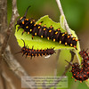 Pipevine Swallowtail Caterpillar (Battus philenor) California
