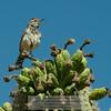 Cactus Wren-Campylorhynchus brunneicapillus-Arizona