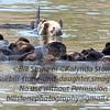 A Raft of Sea Otters-Elkhorn Slough