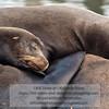 California Sea Lions-Elkhorn Slough