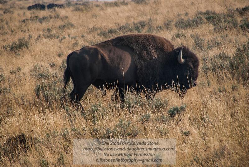 Bison - Buffalo-Yellowstone