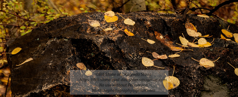 Aspen leaves on rock