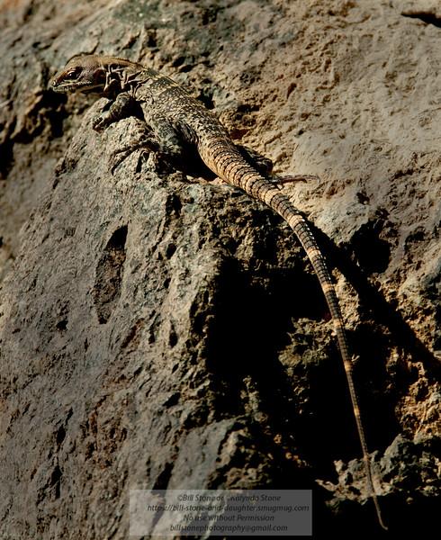 Zebra-tailed Lizard-Callisaurus draconoides-Arizona