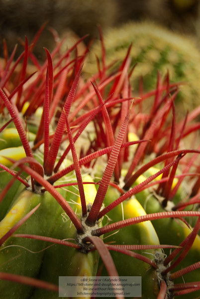 Barrel Cactus (Ferocactus sp.) - Arizona