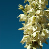 blue yucca, Spanish bayonet-Yucca arizonica