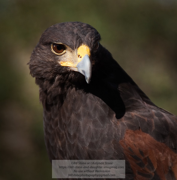 Harris's Hawk (Parabuteo unicinctus) - Arizona