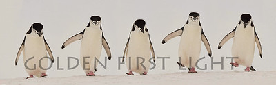 Chinstrap Penguins, Antarctica