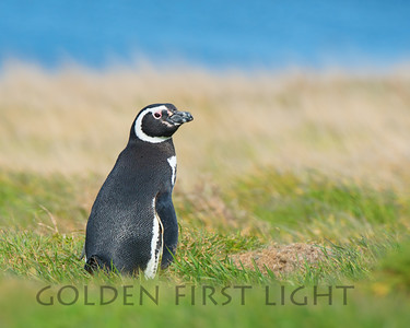 Magellanic Penguin, New Island Falklands