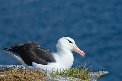 Black-browed Albatross, New Island, Falklands