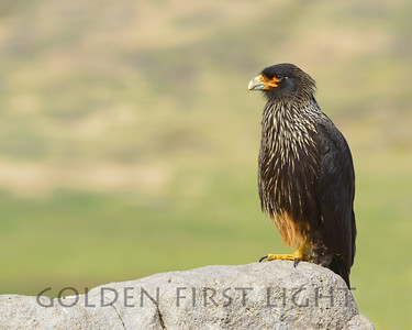 Striated Caracara, New Island Falkland Islands