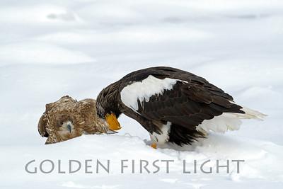 Steller's Sea Eagle and White-tailed Eagle, Japan