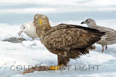 White-tailed Eagle, Japan