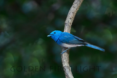 Black-naped Monarch, Thailand