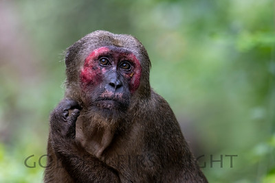 Stump-tailed Macaque, Kaeng Krachan National Park, Thailand