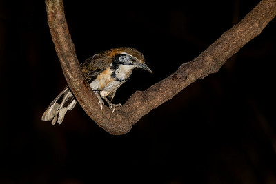 Greater Necklaced Laughingthrush, Thailand
