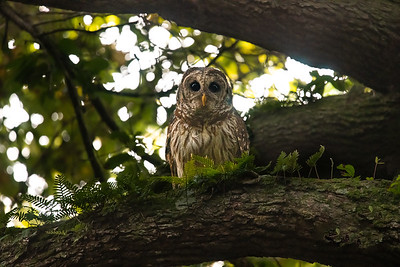 Barred Owl - Brazos Bend State Park