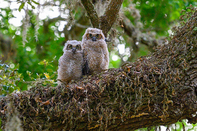 Owlets - Brazos Bend State Park