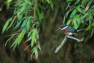 Green Kingfisher, Argentina
