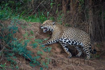 Jaguar, Pantanal Brazil