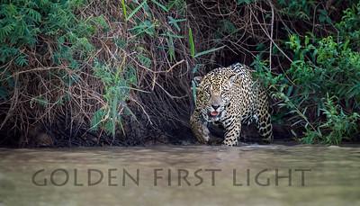 Male Jaguar, Pantanal Brazil