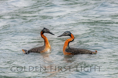 Great Grebe, Chile