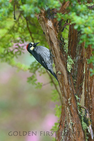 Acorn Woodpecker, Costa Rica