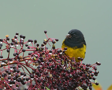 Yellow-bellied Siskin, Costa Rica
