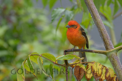 Flame Tanager, Costa Rica