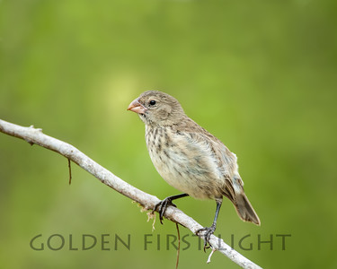 Small Tree Finch, Galapagos