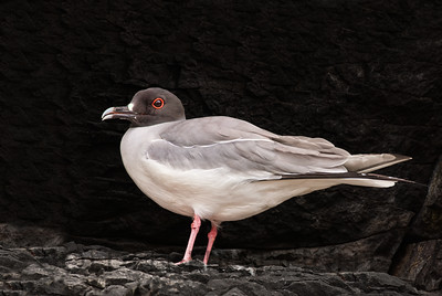 Swallow-tailed Gull, Galapagos