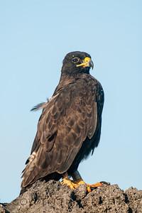 Galapagos Hawk, Galapagos