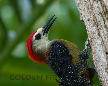 Jamaican Woodpecker, Jamaica