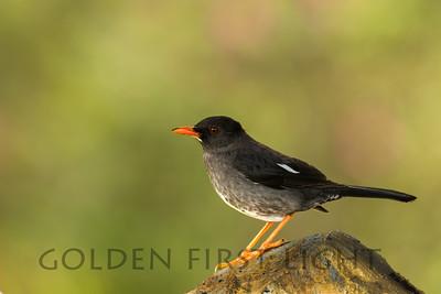 White-chinned Thrush, Jamaica