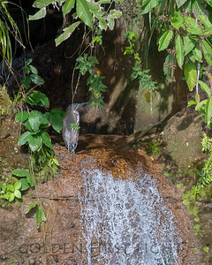 Fasciated Tiger-Heron, Peru