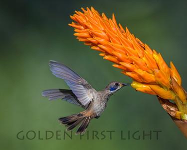 Brown Violetear, Ecuador
